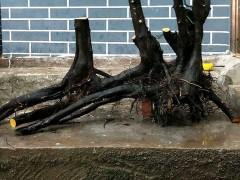 怎么将金弹子碳化下山桩制作成盆景 图片