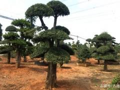 对节白蜡下山桩为什么要选在秋季移栽?