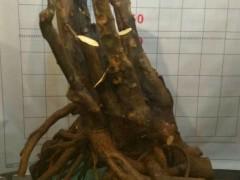 200元买的金豆下山桩 怎么栽一年后价格卖到5000元