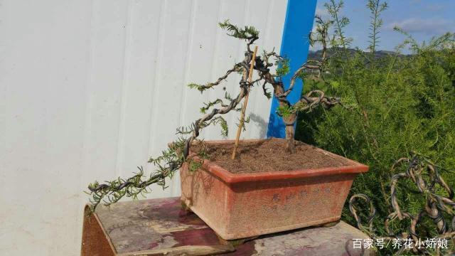 栽种红豆杉下山桩 做好这4点 容易成活