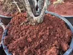 怎么栽培下山桩 首先是土壤的选择 图片
