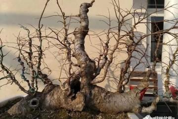 玩盆景的5个步骤 养坯 造型 上盆 配石 铺藓