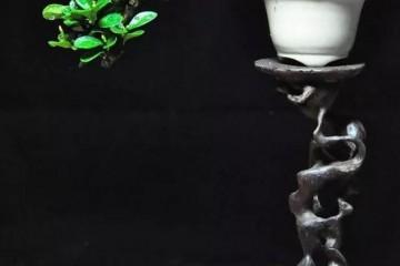 金豆盆景造型的3个注意事项