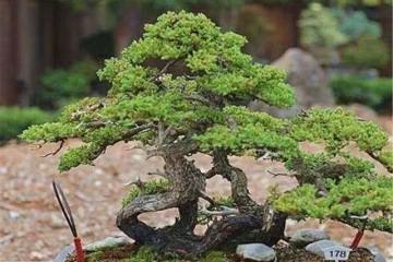 丛树盆景的修剪造型技巧