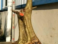 怎么种植对节白蜡下山桩 3个发芽方法 图片