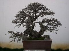 夏季榆树下山桩怎么喷水发芽方法 图片