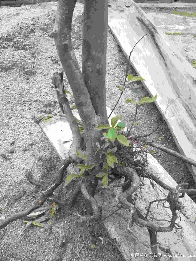 白继木下山桩的选桩与造型