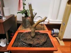 怎么提高下山桩成活率 发芽发根的方法