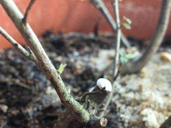 圖解 本人首次栽種杜鵑下山樁的全過程