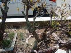 黄栌下山桩怎么种 刚入了几个 不知道如何栽培