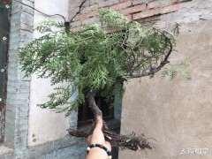 方法 在深圳用生根粉栽种的崖柏下山桩 图片