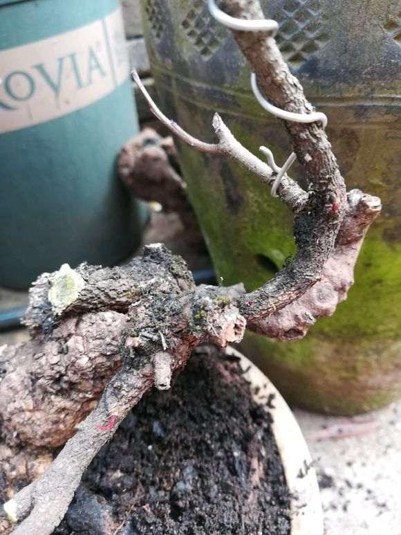 清香木栽种与下山桩挖取要点