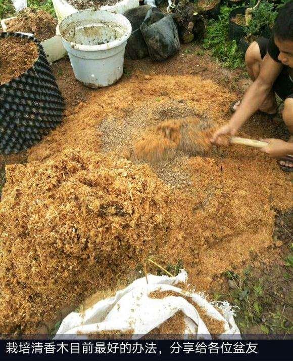 什么季节栽种清香木下山桩最好?