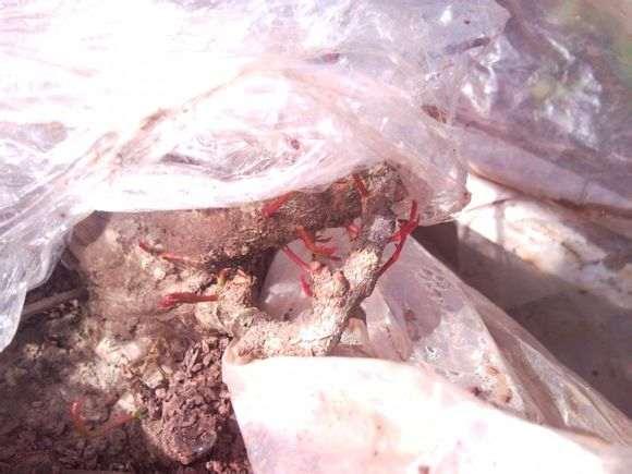 栽培下山桩用不用纯沙 用木屑 可以吗?