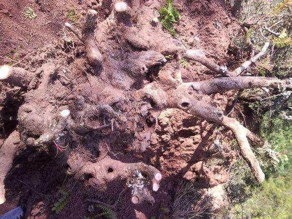 清香木新下山桩带原土的要怎样处理?
