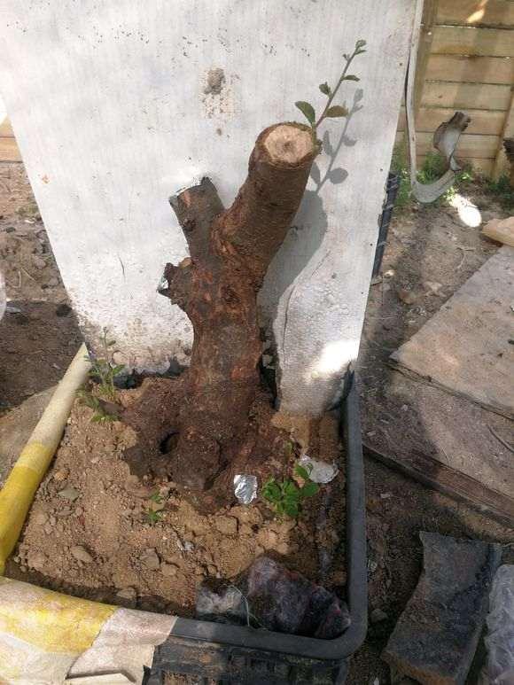 种了半个月的榔榆下山桩 终于发芽了