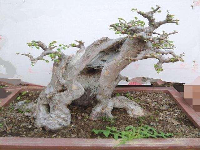 对于榆树下山桩该怎么养护 用什么办法?