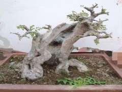 对于榆树下山桩该怎么养护 用什么办法 图片