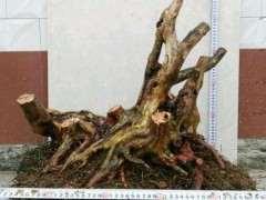 映山红下山桩怎么发芽发根 栽培方法 图片