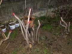 怎么保持映山红下山桩在冬季的成活率 图片