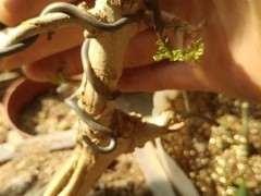 去年12月份的对节白蜡下山桩 怎么还没有发芽