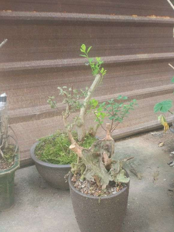 紫薇下山桩 栽了半个月 还能否成活?