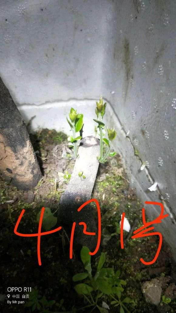 11月7日种的下山桩 经过5个月冬季 终于发芽了