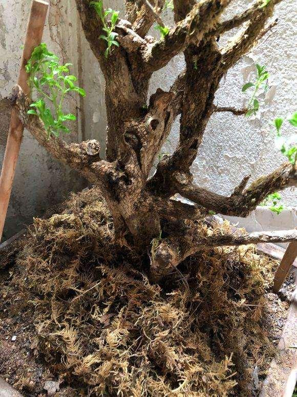 黄杨下山桩 没用生根粉直接种了 会不会死?