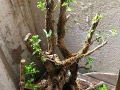 黄杨下山桩没用生根粉直接种了 会不会死 图片