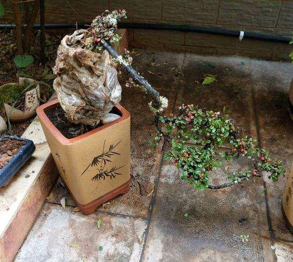 红土和腐殖土种植下山桩 能成活么