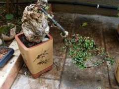 红土和腐殖土怎么种植下山桩 如何成活?
