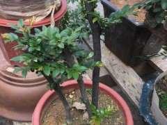 黑骨茶下山桩怎么栽培 要多久才发芽 图片