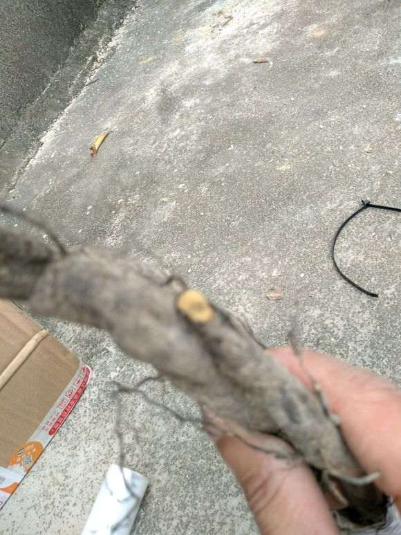 请问下山桩的根中间都发黑了 还能不能种?