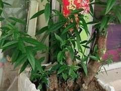 腊梅下山桩四个月了 枝条太长 怎么修剪