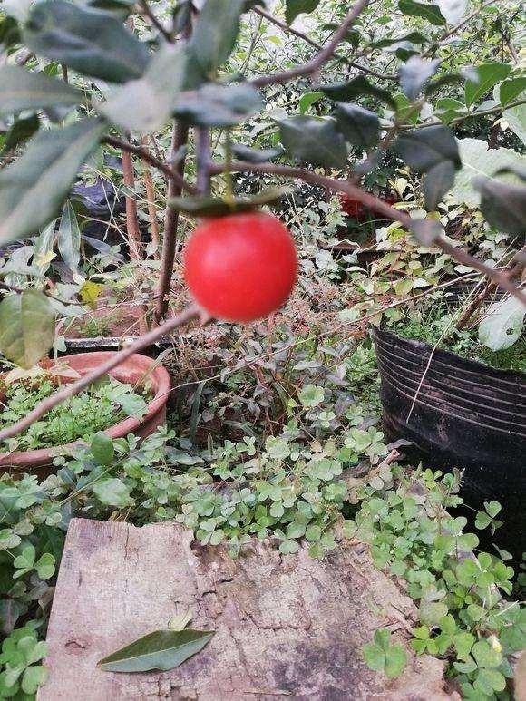 血红果卖下山桩 怎么造型?