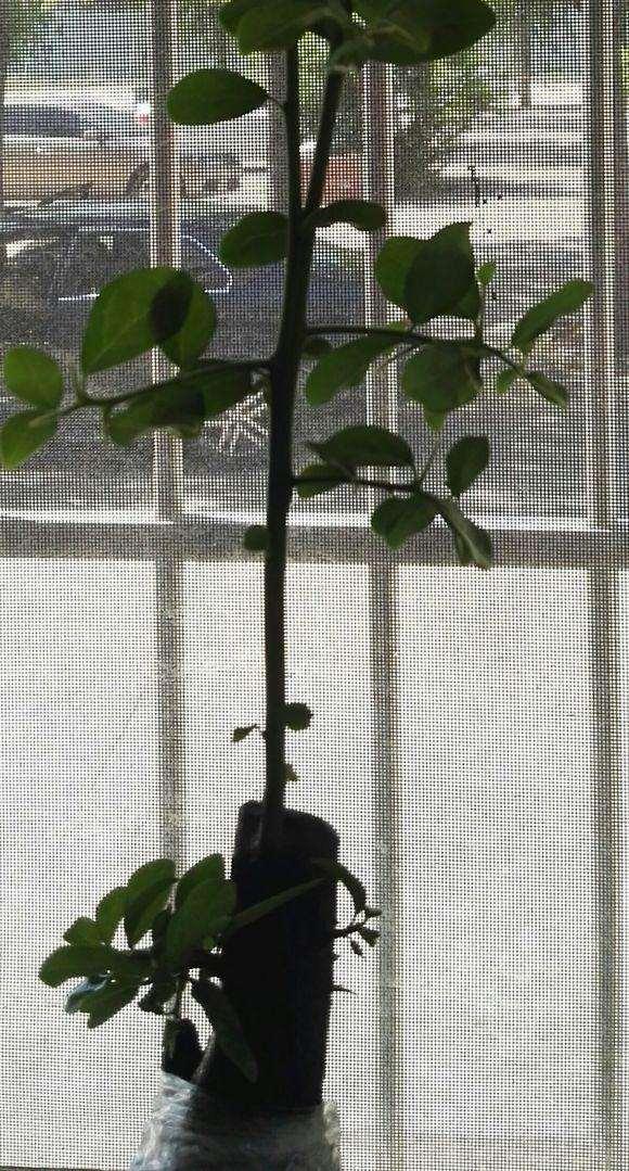 下山桩发芽后枝条上再发二级枝 怎么造型?