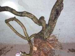 紫藤下山桩盆景烂根烂桩怎么挽救 什么方法