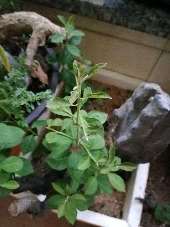 老鸦柿下山桩停止生长 是什么原因