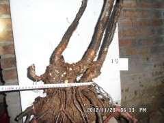 夏季栽培下山桩怎么套膜 有什么方法 图片