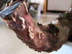 檵木木下山桩怎么缠膜几天 打开后发现爆皮了