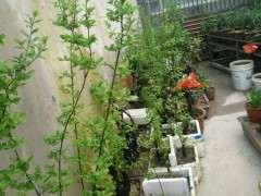 老鴉柿下山樁經過一年生長 居然帶花苞了