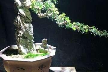 如何制作雀舌罗汉松附石盆景?