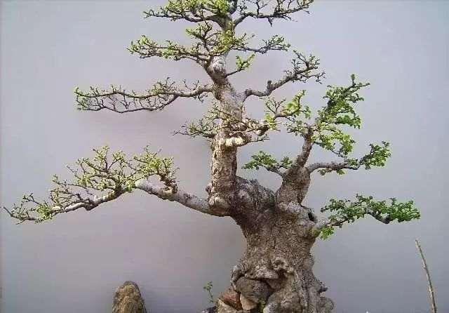 榆树下山桩养护及老桩养护 要做好下面7点