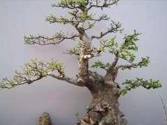 榆树下山桩老桩怎么养护 要做好7个方法