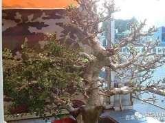 怎么地养榆树下山桩 如何成盆景 图片