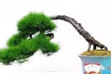 榆树老桩盆景怎么制作的方法 图片