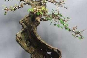 你知道榆树盆景换盆时要注意些什么吗?
