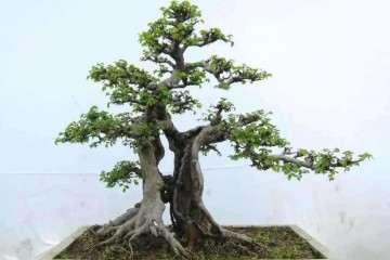 榆树盆景的采桩时间与上盆造型