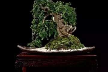榆树老桩盆景的花语也象征的吉祥之意