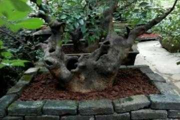 小院子 栽榆树大桩 青砖做盆景